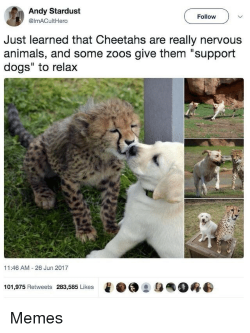 "zoos: Andy Stardust  @imACultHero  Follow  Just learned that Cheetahs are really nervous  animals, and some zoos give them ""support  dogs"" to relax  11:46 AM 26 Jun 2017  101,975 Retweets 283,585 Likes  e·@ :身  0终 Memes"