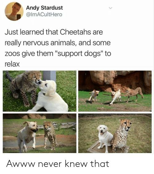 "Animals, Dogs, and Never: Andy Stardust  @ImACultHero  Just learned that Cheetahs are  really nervous animals, and some  zoos give them ""support dogs"" to  relax Awww never knew that"
