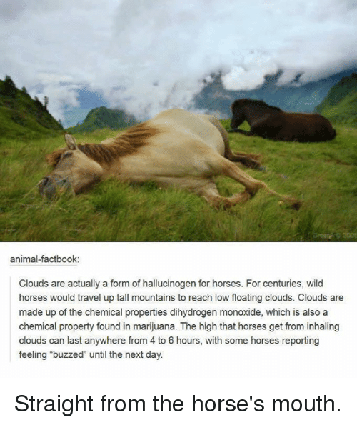 """Horses, Memes, and Cloud: animal factbook:  Clouds are actually a form of hallucinogen for horses. For centuries, wild  horses would travel up tall mountains to reach low floating clouds. Clouds are  made up of the chemical properties dihydrogen monoxide, which is also a  chemical property found in marijuana. The high that horses get from inhaling  clouds can last anywhere from 4 to 6 hours, with some horses reporting  feeling """"buzzed until the next day. Straight from the horse's mouth."""