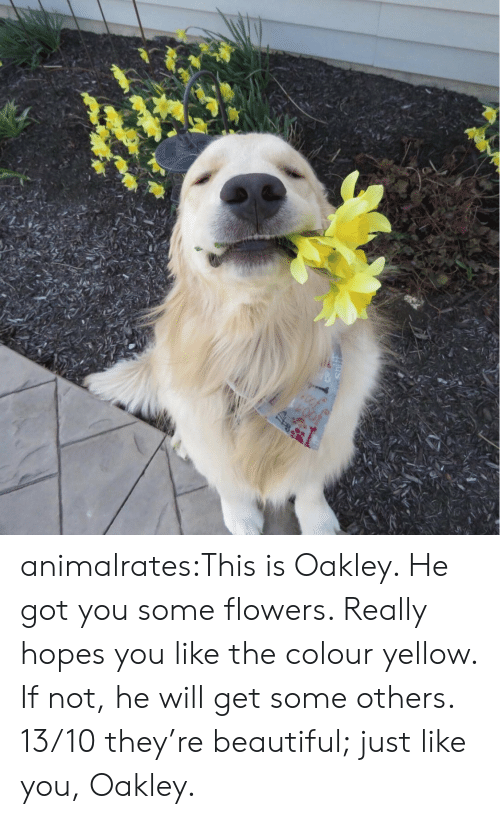 You Like The: animalrates:This is Oakley. He got you some flowers. Really hopes you like the colour yellow. If not, he will get some others. 13/10 they're beautiful; just like you, Oakley.