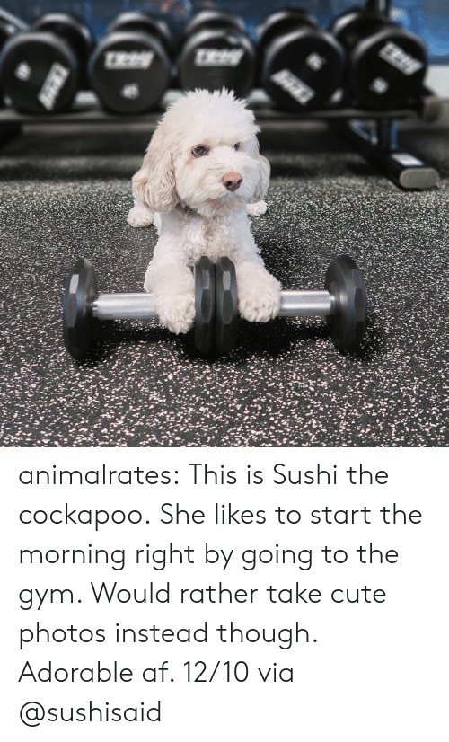 Af, Cute, and Gym: animalrates: This is Sushi the cockapoo.She likes to start the morning right by going to the gym. Would rather take cute photos instead though. Adorable af. 12/10 via @sushisaid