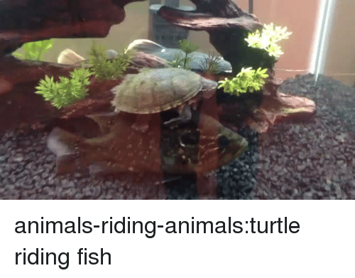 Animals, Tumblr, and Blog: animals-riding-animals:turtle riding fish