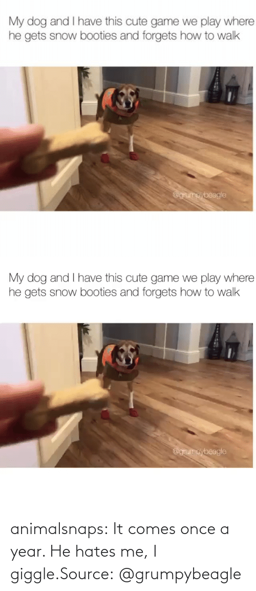 hates: animalsnaps:  It comes once a year. He hates me, I giggle.Source: @grumpybeagle