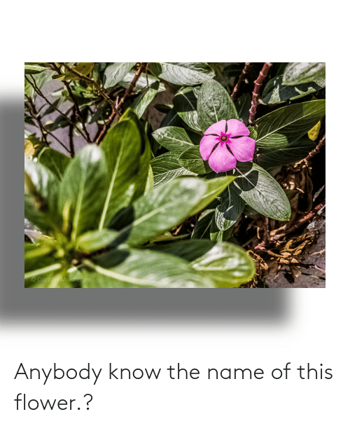anybody: Anybody know the name of this flower.?