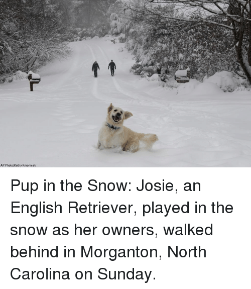 Memes, North Carolina, and Snow: AP Photo/Kathy Kmonicek Pup in the Snow: Josie, an English Retriever, played in the snow as her owners, walked behind in Morganton, North Carolina on Sunday.