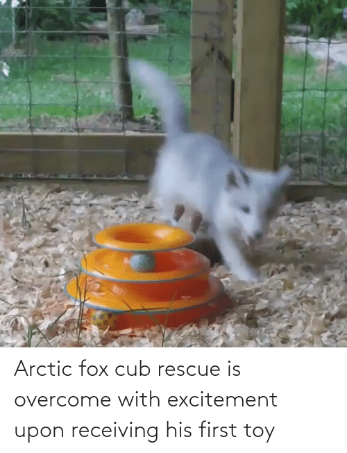 fox: Arctic fox cub rescue is overcome with excitement upon receiving his first toy
