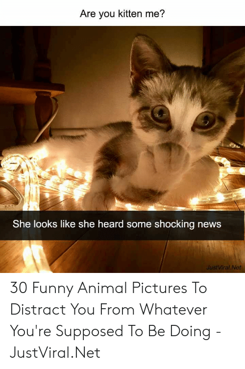 funny animal: Are you kitten me?  She looks like she heard some shocking news  JustViral Net 30 Funny Animal Pictures To Distract You From Whatever You're Supposed To Be Doing - JustViral.Net