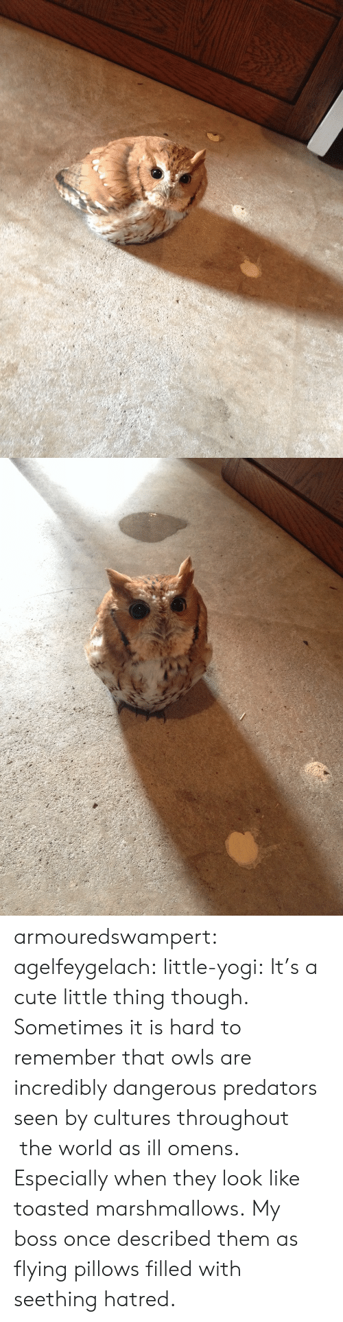 Cute Little: armouredswampert: agelfeygelach:  little-yogi:  It's a cute little thing though.  Sometimes it is hard to remember that owls are incredibly dangerous predators seen by cultures throughout  the world as ill omens. Especially when they look like toasted marshmallows.  My boss once described them as flying pillows filled with seething hatred.