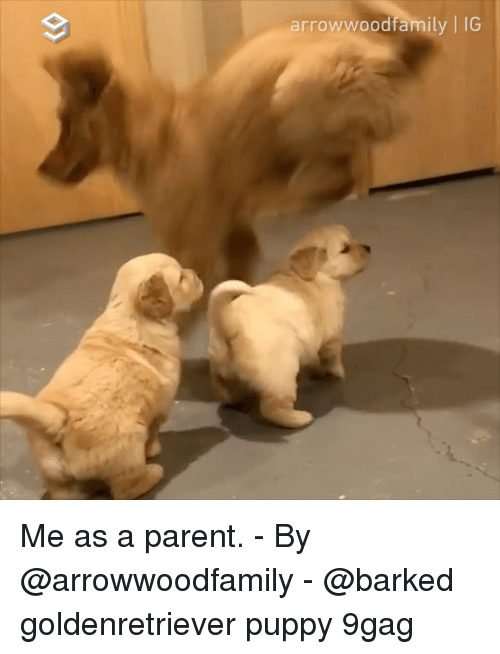 9gag, Memes, and Puppy: arrowwoodfamily | IG Me as a parent. - By @arrowwoodfamily - @barked goldenretriever puppy 9gag