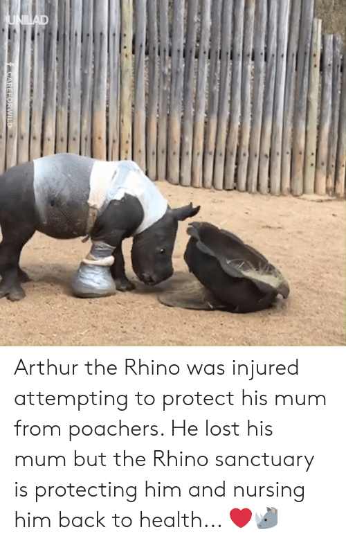 injured: Arthur the Rhino was injured attempting to protect his mum from poachers. He lost his mum but the Rhino sanctuary is protecting him and nursing him back to health... ❤️️🦏