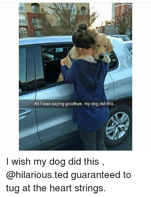 Goodbyee: As I was saying goodbye, my dog did this... I wish my dog did this , @hilarious.ted guaranteed to tug at the heart strings.