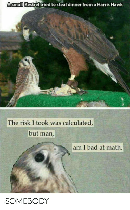 Bad, Math, and Man: Asmall Kestrel tried to steal dinner from a Harris Hawk  The risk I took was calculated  but man  am I bad at math SOMEBODY