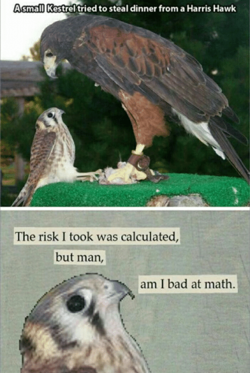 But Man Am I Bad At Math: Asmall Kestrel tried to steal dinner from a Harris Hawk  The risk I took was calculated,  but man,  am I bad at math.