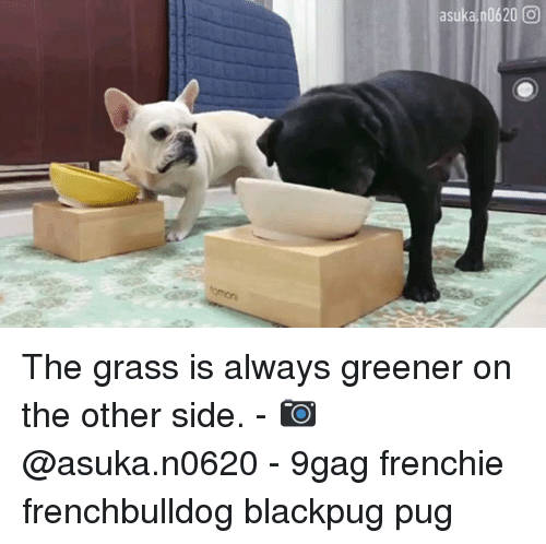 Frenchie: asuka 0620 0 The grass is always greener on the other side. - 📷 @asuka.n0620 - 9gag frenchie frenchbulldog blackpug pug