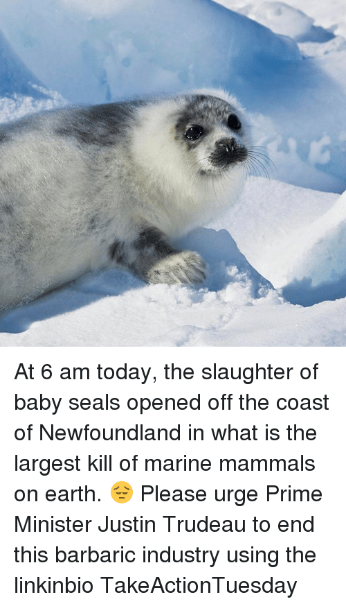 newfoundland: At 6 am today, the slaughter of baby seals opened off the coast of Newfoundland in what is the largest kill of marine mammals on earth. 😔 Please urge Prime Minister Justin Trudeau to end this barbaric industry using the linkinbio TakeActionTuesday