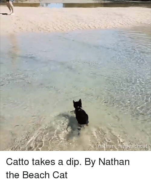 Dank, Beach, and 🤖: athant thebeachcat Catto takes a dip.  By Nathan the Beach Cat