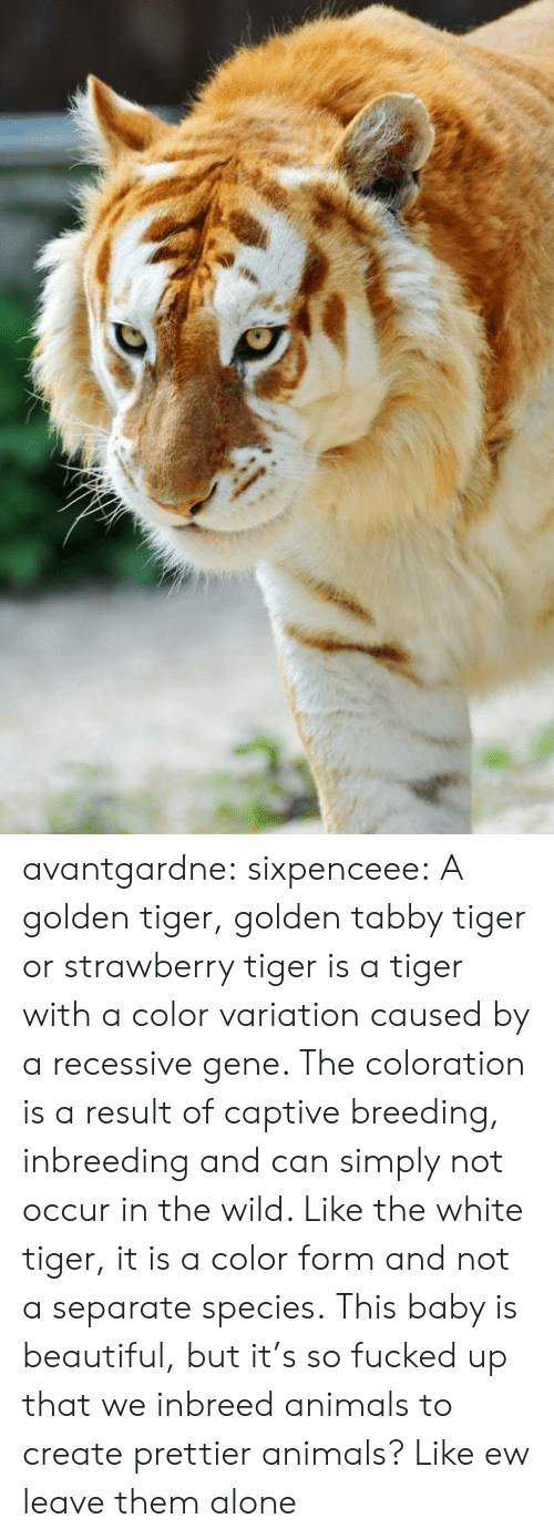 So Fucked Up: avantgardne: sixpenceee:  A golden tiger, golden tabby tiger or strawberry tiger is a tiger with a color variation caused by a recessive gene. The coloration is a result of captive breeding, inbreeding and can simply not occur in the wild. Like the white tiger, it is a color form and not a separate species.  This baby is beautiful, but it's so fucked up that we inbreed animals to create prettier animals? Like ew leave them alone