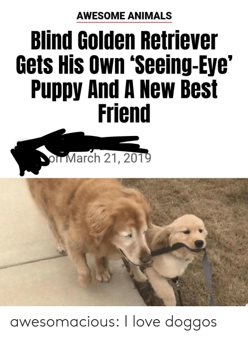 Animals, Best Friend, and Love: AWESOME ANIMALS  Blind Golden Retriever  Gets His Own 'Seeing-Eye'  Puppy And A New Best  Friend  oIT March 21, 201 awesomacious:  I love doggos