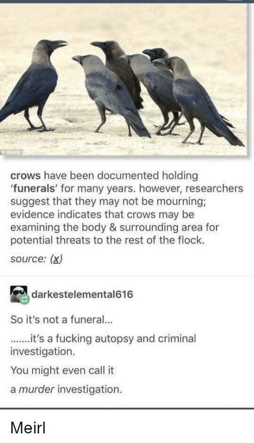 Fucking, Murder, and MeIRL: ay  crows have been documented holding  funerals' for many years. however, researchers  suggest that they may not be mourning;  evidence indicates that crows may be  examining the body & surrounding area for  potential threats to the rest of the flock.  source: (x)  darkestelemental616  So it's not a funeral..  it's a fucking autopsy and criminal  investigation.  You might even call it  a murder investigation Meirl