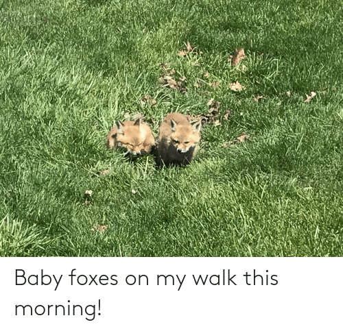this morning: Baby foxes on my walk this morning!