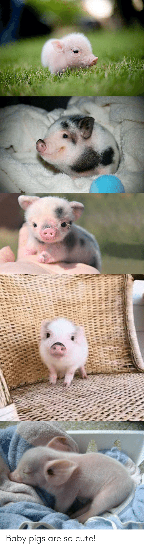 Baby: Baby pigs are so cute!