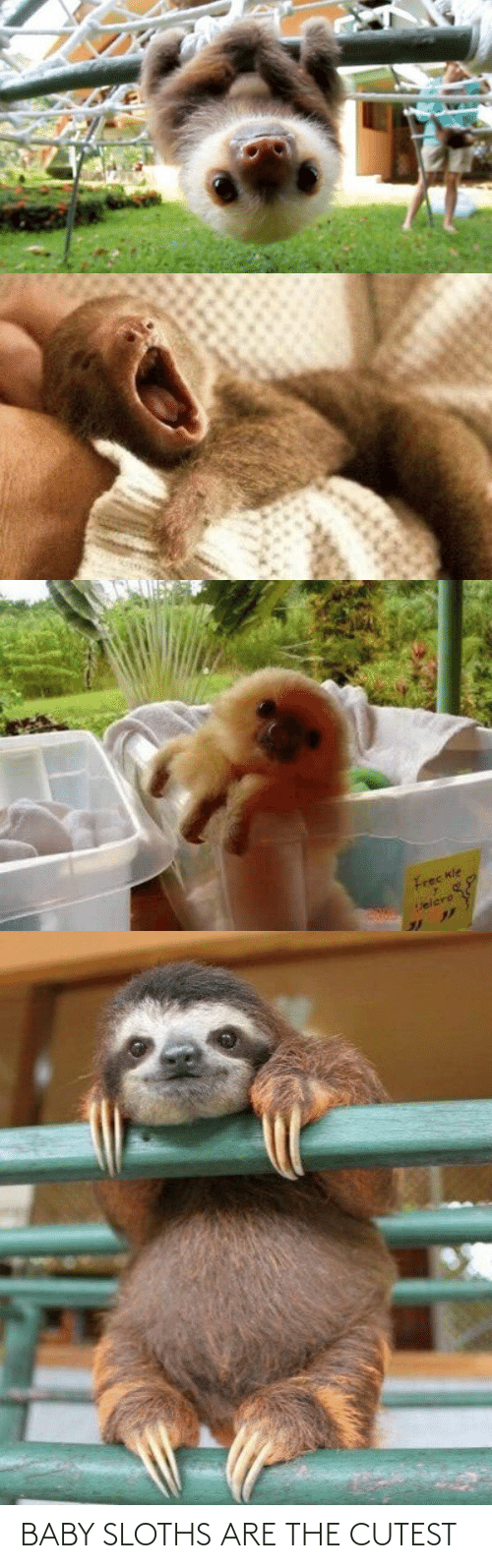 Baby: BABY SLOTHS ARE THE CUTEST