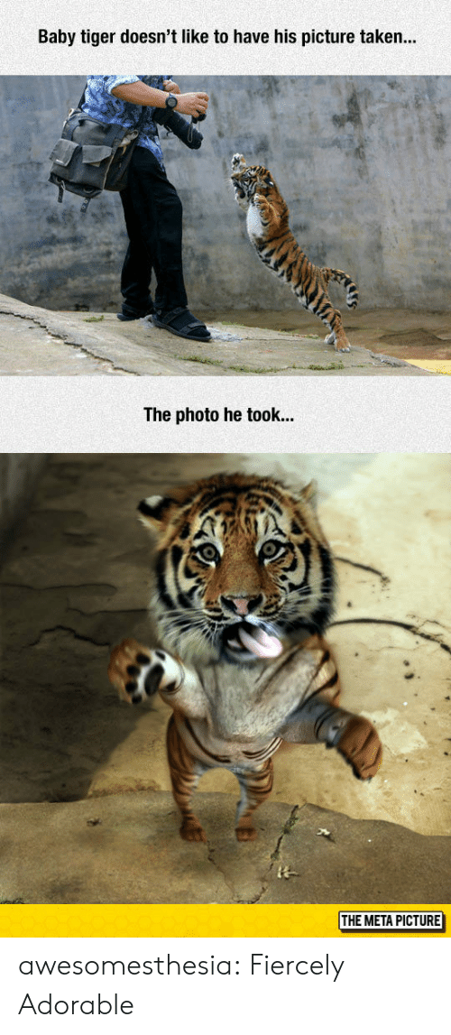 Taken, Tumblr, and Blog: Baby tiger doesn't like to have his picture taken...  The photo he took...  THE META PICTURE awesomesthesia:  Fiercely Adorable