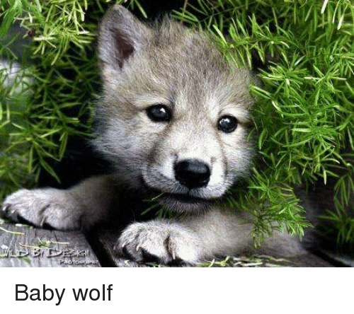25 best memes about baby wolf baby wolf memes