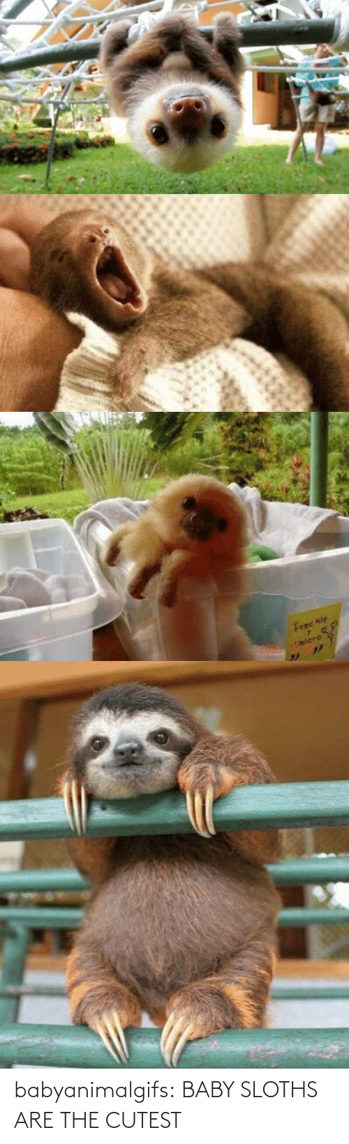 Baby: babyanimalgifs:  BABY SLOTHS ARE THE CUTEST