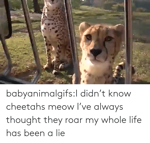 roar: babyanimalgifs:I didn't know cheetahs meow I've always thought they roar my whole life has been a lie