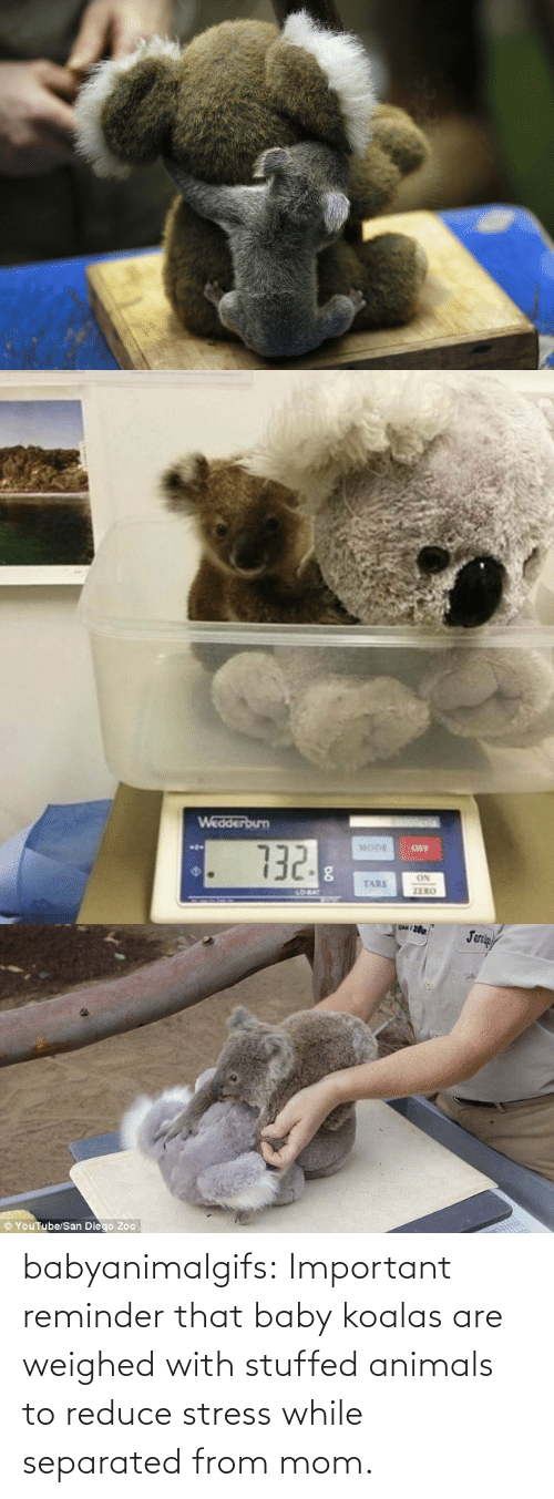 stress: babyanimalgifs:  Important reminder that baby koalas are weighed with stuffed animals to reduce stress while separated from mom.