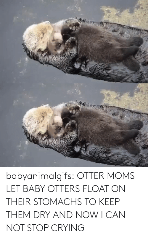 Keep: babyanimalgifs:  OTTER MOMS LET BABY OTTERS FLOAT ON THEIR STOMACHS TO KEEP THEM DRY AND NOW I CAN NOT STOP CRYING