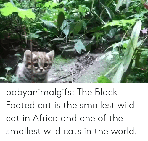 Africa: babyanimalgifs: The Black Footed cat is the smallest wild cat in Africa and one of the smallest wild cats in the world.