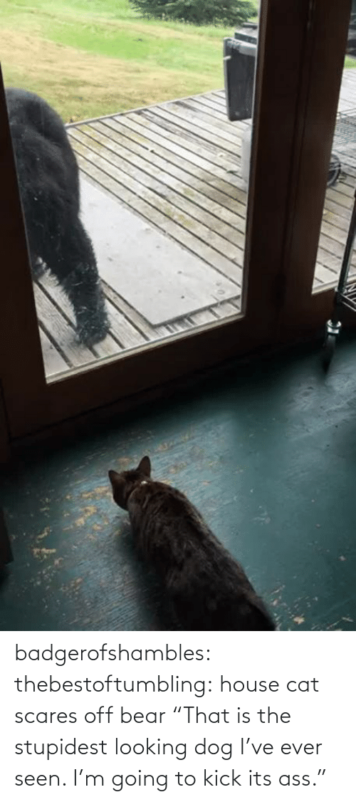 "seen: badgerofshambles:  thebestoftumbling:  house cat scares off bear  ""That is the stupidest looking dog I've ever seen. I'm going to kick its ass."""