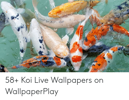 Barbara Busquet 58 Koi Live Wallpapers On Wallpaperplay