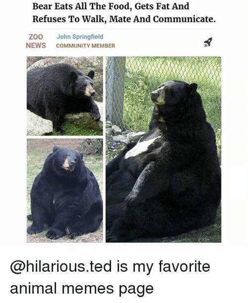 Memes Page: Bear Eats All The Food, Gets Fat And  Refuses To Walk, Mate And Communicate.  ZOO John Springfield  NEWS COMMUNITY MEMBER @hilarious.ted is my favorite animal memes page