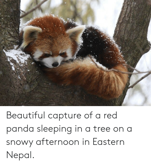 Beautiful, Panda, and Nepal: Beautiful capture of a red panda sleeping in a tree on a snowy afternoon in Eastern Nepal.