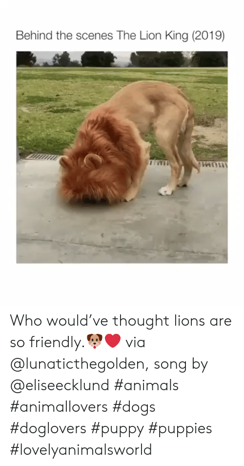 The Lion King: Behind the scenes The Lion King (2019) Who would've thought lions are so friendly.🐶❤ via @lunaticthegolden, song by @eliseecklund #animals #animallovers #dogs #doglovers #puppy #puppies #lovelyanimalsworld