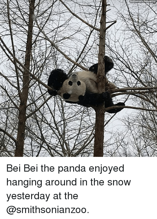 Bei: Bei Bei the panda enjoyed hanging around in the snow yesterday at the @smithsonianzoo.