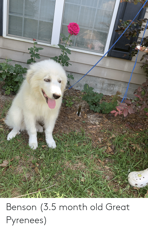 3 5: Benson (3.5 month old Great Pyrenees)