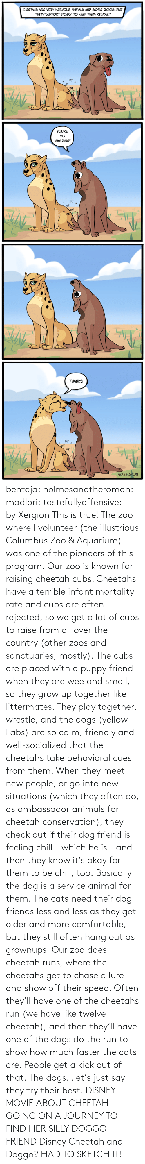 Conservation: benteja:  holmesandtheroman:  madlori:  tastefullyoffensive: by Xergion This is true! The zoo where I volunteer (the illustrious Columbus Zoo & Aquarium) was one of the pioneers of this program. Our zoo is known for raising cheetah cubs. Cheetahs have a terrible infant mortality rate and cubs are often rejected, so we get a lot of cubs to raise from all over the country (other zoos and sanctuaries, mostly). The cubs are placed with a puppy friend when they are wee and small, so they grow up together like littermates. They play together, wrestle, and the dogs (yellow Labs) are so calm, friendly and well-socialized that the cheetahs take behavioral cues from them. When they meet new people, or go into new situations (which they often do, as ambassador animals for cheetah conservation), they check out if their dog friend is feeling chill - which he is - and then they know it's okay for them to be chill, too. Basically the dog is a service animal for them. The cats need their dog friends less and less as they get older and more comfortable, but they still often hang out as grownups. Our zoo does cheetah runs, where the cheetahs get to chase a lure and show off their speed. Often they'll have one of the cheetahs run (we have like twelve cheetah), and then they'll have one of the dogs do the run to show how much faster the cats are. People get a kick out of that. The dogs…let's just say they try their best.   DISNEY MOVIE ABOUT CHEETAH GOING ON A JOURNEY TO FIND HER SILLY DOGGO FRIEND  Disney Cheetah and Doggo? HAD TO SKETCH IT!