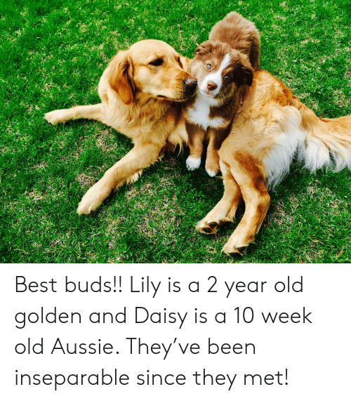 Best, Old, and Aussie: Best buds!! Lily is a 2 year old golden and Daisy is a 10 week old Aussie. They've been inseparable since they met!