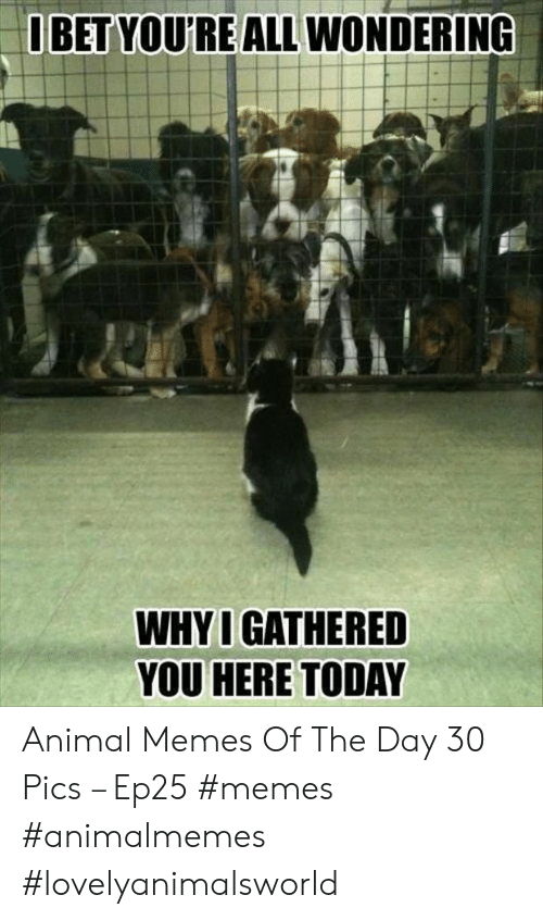 Memes, Animal, and Today: BET YOU'RE ALL WONDERING  WHY I GATHERED  YOU HERE TODAY Animal Memes Of The Day 30 Pics – Ep25 #memes #animalmemes #lovelyanimalsworld