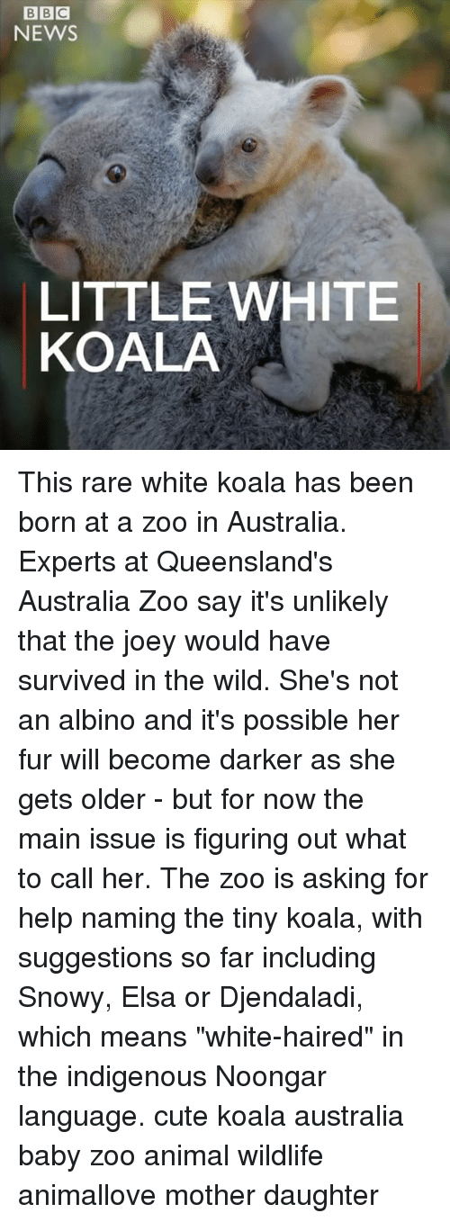 """Rareness: BIBIC  NEWS  LITTLE WHITE  KOALA This rare white koala has been born at a zoo in Australia. Experts at Queensland's Australia Zoo say it's unlikely that the joey would have survived in the wild. She's not an albino and it's possible her fur will become darker as she gets older - but for now the main issue is figuring out what to call her. The zoo is asking for help naming the tiny koala, with suggestions so far including Snowy, Elsa or Djendaladi, which means """"white-haired"""" in the indigenous Noongar language. cute koala australia baby zoo animal wildlife animallove mother daughter"""