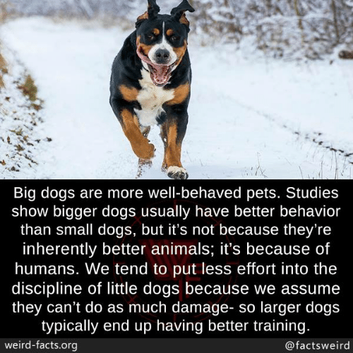 Animals, Dogs, and Facts: Big dogs are more well-behaved pets. Studies  show bigger dogs usually have better behavior  than small dogs, but it's not because they're  inherently better animals; it's because of  humans. We tend to put less effort into the  discipline of little dogs because we assume  they can't do as much damage- so larger dogs  typically end up having better training.  weird-facts.org  @factsweird