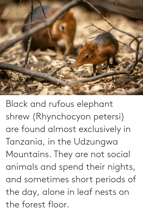 Floor: Black and rufous elephant shrew (Rhynchocyon petersi) are found almost exclusively in Tanzania, in the Udzungwa Mountains. They are not social animals and spend their nights, and sometimes short periods of the day, alone in leaf nests on the forest floor.