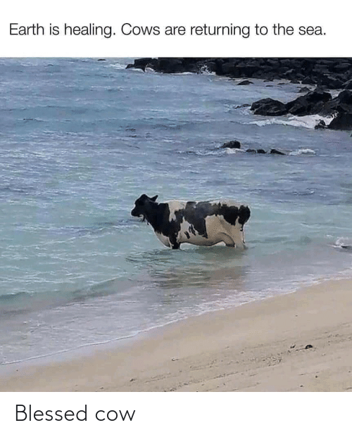 cow: Blessed cow