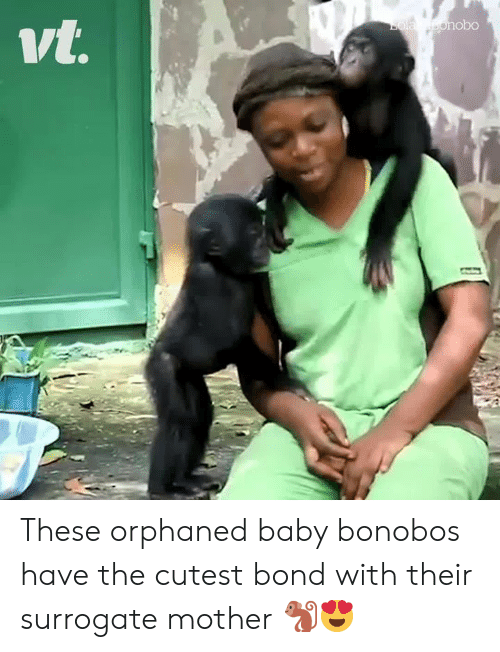 Baby, Bond, and Mother: Bola bonob0  vt. These orphaned baby bonobos have the cutest bond with their surrogate mother 🐒😍
