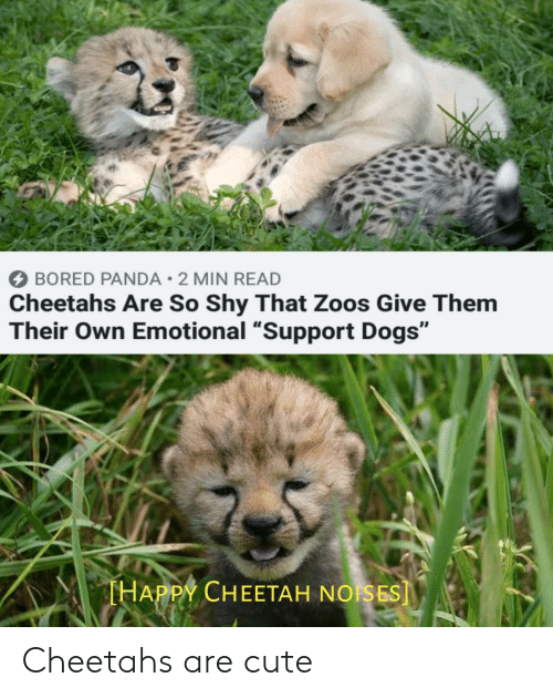 "Bored Panda: BORED PANDA 2 MIN READ  Cheetahs Are So Shy That Zoos Give Them  Their Own Emotional ""Support Dogs""  THAPPY CHEETAH NOISES] Cheetahs are cute"