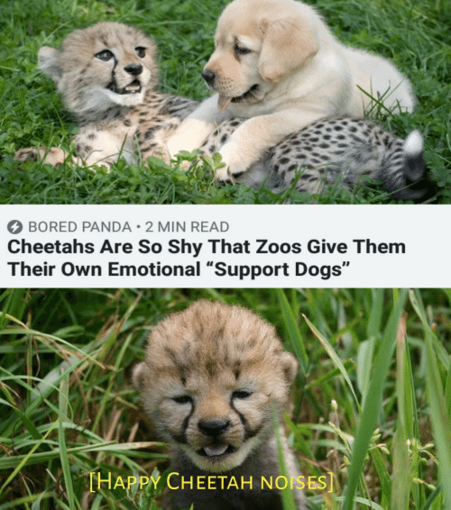 "zoos: BORED PANDA 2 MIN READ  Cheetahs Are So Shy That Zoos Give Them  Their Own Emotional ""Support Dogs""  THAPPY CHEETAH NOISES]"